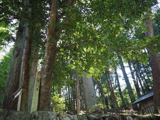 梼の木は大木になるまで何百年もの時間を要する