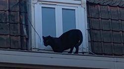 La panthère noire retrouvée errant sur les toits à Armentières a été