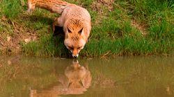 Τι κάνουν οι αλεπούδες στην λίμνη της Βουλιαγμένης;