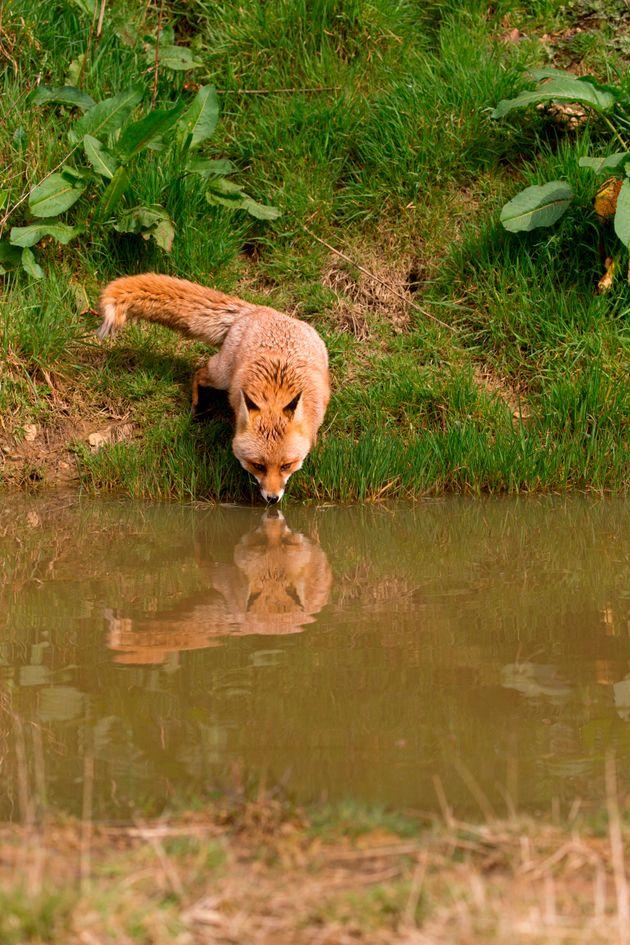 Εδώ μία αλεπούν καθρεφτίζεται...