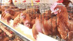Nouvel audit européen au Maroc dans le but d'exporter des viandes de volailles vers