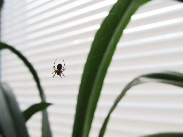 Γιατί δεν πρέπει να σκοτώνουμε τις αράχνες του σπιτιού μας; Ένας εντομολόγος