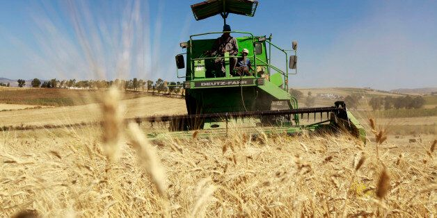 Workers harvest wheat in a field at the outskirts of Beja governorate, about 115 km (71 miles) north...
