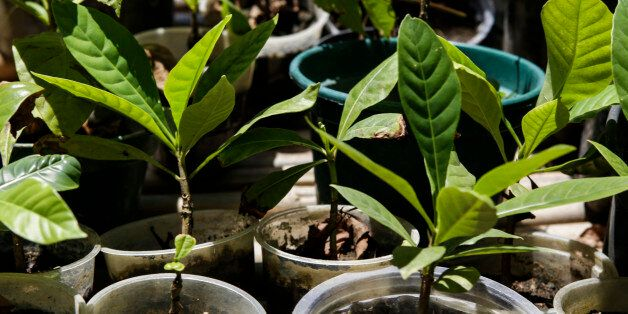 Native plants of the Atlantic Forest that will be used for reforestation by Guaran Indians. On January...