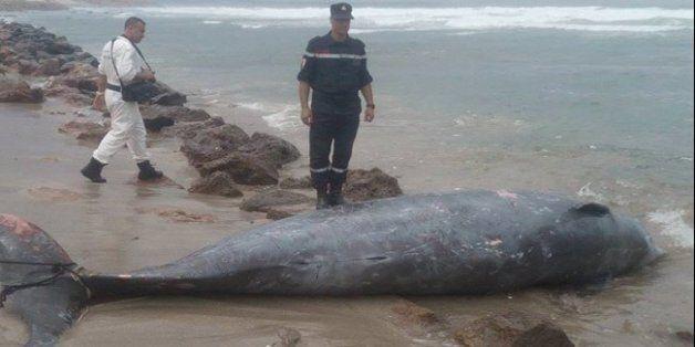 Mostaganem: découverte d'un dauphin échoué à