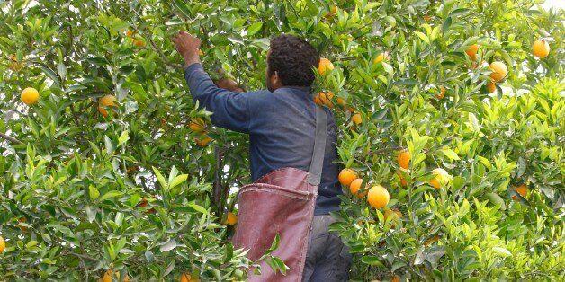 Orange harvest, Morocco. (Photo by: Godong/UIG via Getty