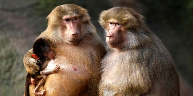 Baboons enjoy the sun in their enclosure at the Hagenbeck Zoo in Hamburg March 4, 2011. REUTERS/Christian...