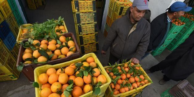 Tunisian workers collect oranges at a farm on January 3, 2017, in Menzel Bou Zelfa in the northeastern...