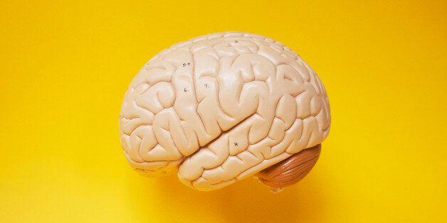 Model Brain side