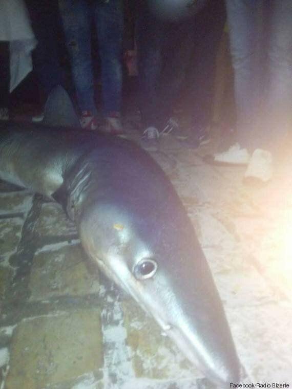 Un requin de deux mètres s'échoue sur les rives de Bizerte