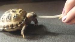 Bébé tortue vs. fève