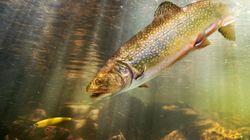 Coupes au ministère de la Faune : les effets sur les poissons