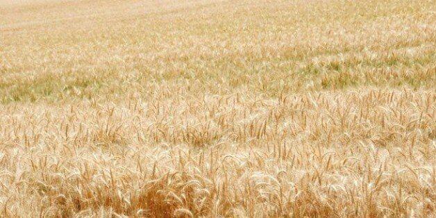 Babar, le désert de Khenchela transformé en un immense champ de