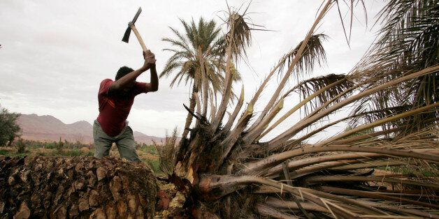 A man cuts a palm in the Todra oasis, near Tinerhir March 9, 2009. When some Moroccan rivers start to...