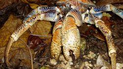 Ce crabe est presque aussi fort qu'un