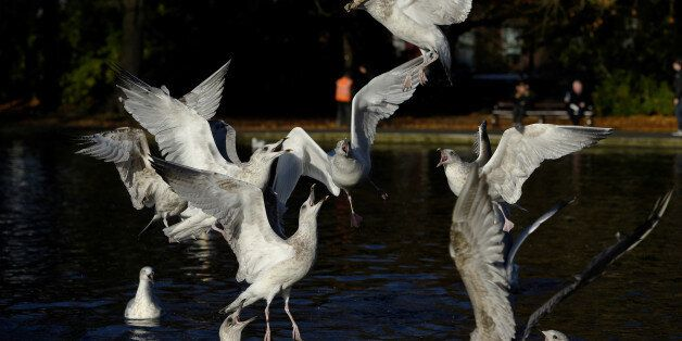 Seagulls fight over a jaffa cake biscuit in St. Stephen's Green in Dublin, Ireland November 29, 2016....