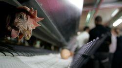 Grippe aviaire au Maroc: l'ONSSA