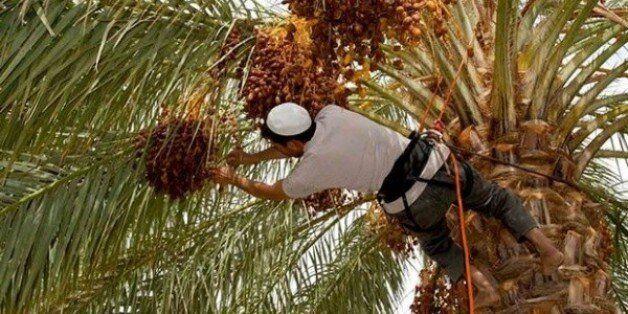 Grimpeur-élagueur de palmiers: un métier en voie de disparition dans le