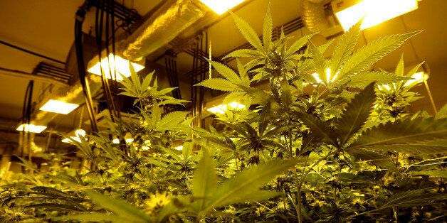Cannabis plants are pictured in a grow room in a state-owned agricultural farm in Rovigo, about 60 km...