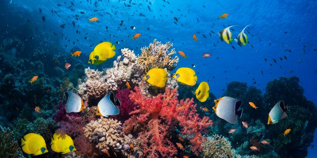 Coral reef scenery with Red Sea bannerfish (Heniochus intermedius), golden butterflyfish (Chaetodon semilarvatus),...