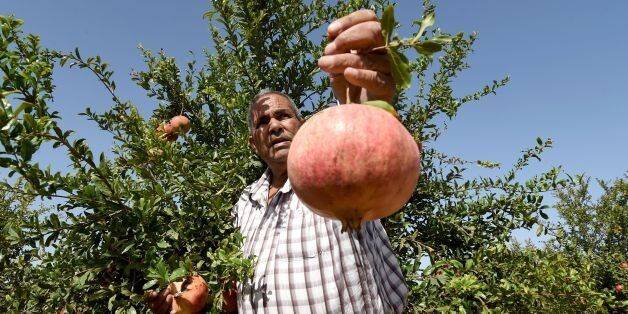 A Tunisian farmer holds a pomegranate on October 15, 2016 during the pomegranate festival in the small...