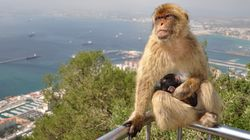 Les macaques de Barbarie ne pourront plus être vendus à