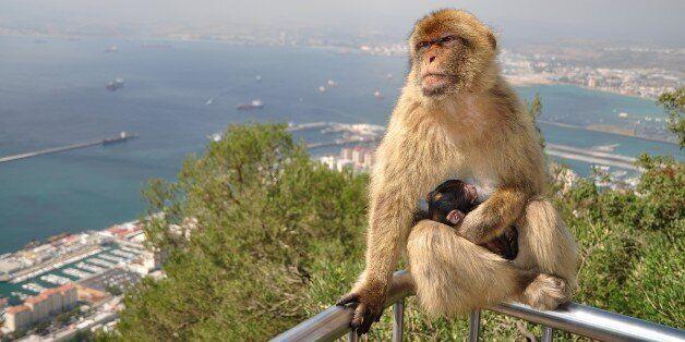 Un macaque de Gibraltar et son