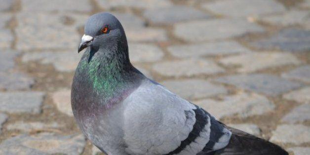 Inde: Un pigeon placé en détention pour transport d'une lettre de