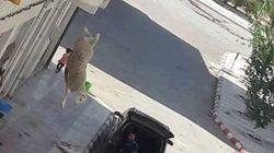 Tunisie: La photo de ce mouton qui se jette du 3eme étage d'un immeuble fait le
