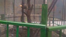 Un macaque qui mord un enfant, à qui la