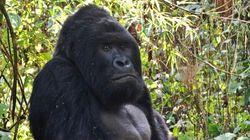 Le plus grand gorille du monde