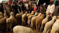 Moutons destinés à l'Aïd Al Adha: L'offre dépasse largement la