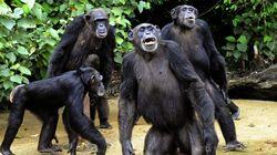 Les chimpanzés préfèrent coopérer qu'être en
