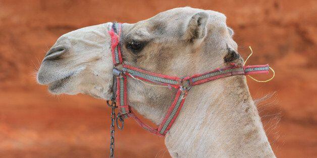 Passage d'un chameau devant la porte du trésor à Petra en