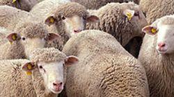 L'Office de la Fatwa au syndicat des imams: Le sacrifice des moutons ne sera pas