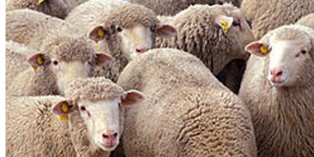Office de la Fatwa : Le sacrifice des moutons aura bel et bien lieu cette