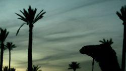 Les palmiers marocains, le grand