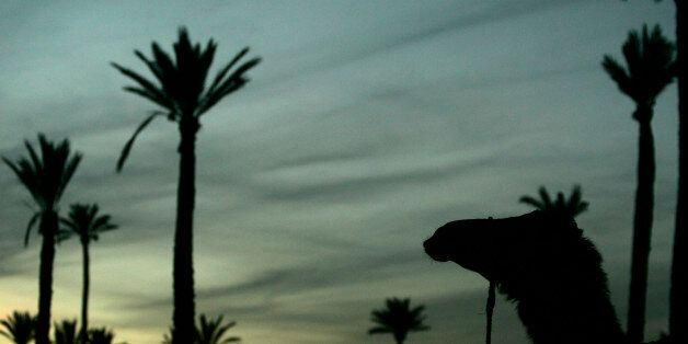 A camel rests at a palm forest in Marrakesh, December 11, 2007. REUTERS/Rafael