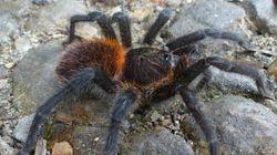 Mauvaise nouvelle pour les arachnophobes, on a découvert une nouvelle