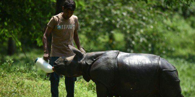 Un rhinocéros nourri à la bouteille le 2 juin 2016 dans le parc national de Kaziranga en