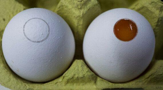 Le broyage des poussins vivants dans la production des œufs va disparaître aux