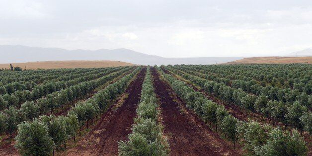 TO GO WITH AFP STORY BY EMMANUELLE MICHEL A picture shows an olive field of Moroccan Agro-Industrial...