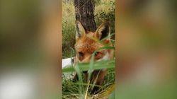 Vuole filmare gli animali nel bosco ma arriva una volpe e gli