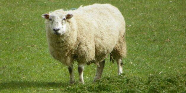 Melilla interdit l'importation de moutons marocains pour