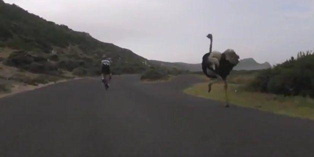 Pris en chasse par une autruche, ces cycliste s'en sont sortis de justesse