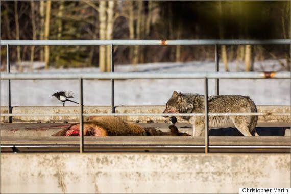 Le photographe Christopher Martin capture une scène brutale de la faune albertaine