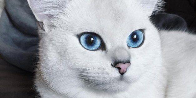Vous allez vous perdre dans les yeux bleus perçants de ce chat