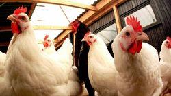 Les volailles issues des élevages français temporairement retirées du