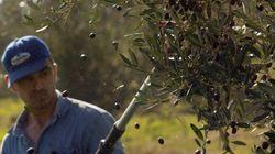 L'Union Européenne veut plus d'huile d'olive tunisienne