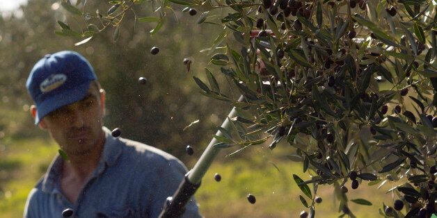 A worker uses an electric comb to harvest frantoio olives in the Pagliatura estate in Magliano, central...